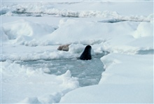 Seal coming up through breathing hole in ice while another lounges on the ice.Spotted seal - Phoca largha.