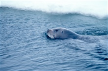 Bearded seal - Erignathus barbatus - swimming.