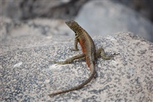 Male Espanola lava lizard.