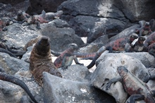 Sea lion pup surrounded by marine iguanas.  Peaceful coexistence.