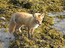 Fox looking for meal at low tide.