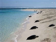 Green turtles coming ashore to lay eggs