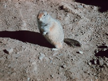 Large ground squirrel.  Called sik-siks in the Canadian Arctic.