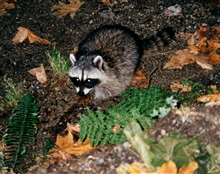 A raccoon (Procyon lotor).