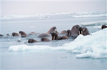 Walrus  - Odobenus rosmarus divergens - hauled out on Bering Sea ice.