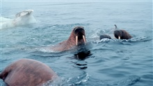 Walrus  - Odobenus rosmarus divergens - swimming in the ice floesin the Bering Sea.