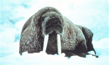 Large walrus on the ice - Odobenus rosmarus divergens -contemplating the photographer.
