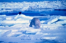 Polar bear  - Ursus maritimus - appears to be stalking walrus - in factwas running from helicopter noise.