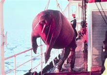 Dead walrus - Odobenus rosmarus divergens -found floating in sea being taken on board ship for studying.