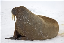 A walrus on the ice in the Arctic Ocean north of western Russia.Odobenus rosmarus rosmarus - the Atlantic subspecies of walrus.