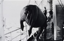 Walrus being brought aboard ship for study and dissection.