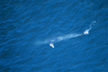 Aerial view of a gray whale - Eschrichtius robustus.