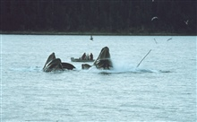 Humpbacks feeding on krill.  Straining waterout of mouth before swallowing the catch.