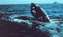North Atlantic Right Whale off New England coast.