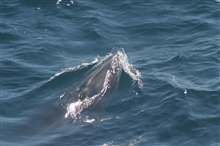 A rorqual whale photographed while beginning to surface.