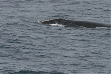 North Atlantic right whale.