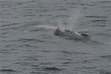 North Atlantic right whale blowing.  The V-shaped double blow is considered tobe diagnostic of this species.