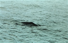 Sperm whale surfacing in the Gulf of Mexico.