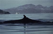 Humpback whale inspecting hydrographic operations in SE Alaska.