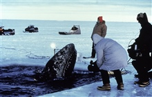 Gray whale trapped in the ice in the Bering Sea.Joint American-Russian effort ultimately saved 2 out 3 trapped whales.