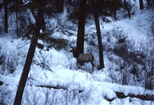 Elk wintering in riparian vegetation on a frozen over Camas Creek.