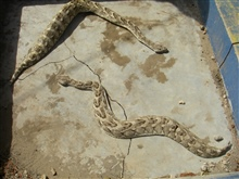 Puff adders, among the most deadly creatures on earth.