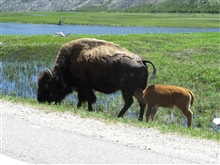 Bison seen at Yellowstone