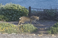 Bobcat roaming through the brush near the Piedras Blancas lighthouse. Bobcatsare crepuscular, mostly active at dawn and dusk.  The elusive creatureshunt rabbits and other small mammals.