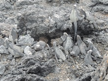 A large number of marine iguanas whose skin color blends right into the volcanic rocks of the Galapagos.