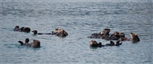A group of sea otters together is known as a raft.
