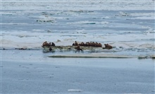 A large herd of walrus use floating ice to haul out after swimming in Arcticwaters.