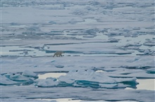 A polar bear effortlessly crosses the ice in its Arctic home.