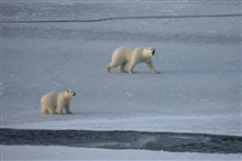 These polar bears are on very thin ice, surrounded by cracks and leads, whichmake it very hard for them to travel.