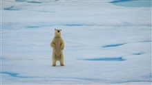 A polar bear standing on its hind legs to get a better look at the USCG icebreaker HEALY.