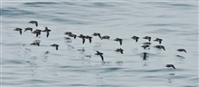 Short-tailed shearwaters travel from New Zealand to the Chukchi coastline inlate summer.