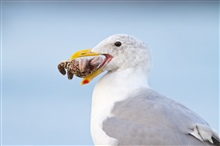 A Western Gull (Larus occidentalis) thinking about eating a starfish.