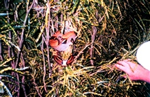 A boa constrictor in the bushes of Isla Gorgona.  The island has numerous snakes making it dangerous to proceed into the jungle or even to camp overnight.