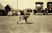 A tame coyote - party pet.Triangulation party of E. O. Heaton.