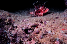 Pterois sphex - Lionfish - Dorsal spines are extremely poisonous.Living in pipe in artificial reef
