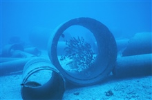 School of Mulloidichthys samoensis (Weke) in large concrete pipe.  This was soonafter the placement of the artificial reef.