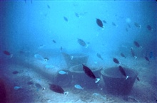 Large school of the surgeon fish, Naso unicornis.These fish were generally seen on low visibility days on reef.