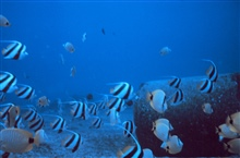 Mixed school of butterfly fishes,  Chaetodon miliaris, Heniochus acuminatus.