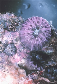 Small polyp of Fungia scutaria.
