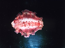 Full view of Hexabranchus sanguineus, a swimming nudibranch.
