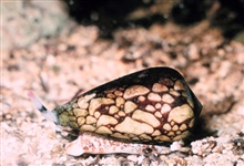 The marbled cone (Conus marmoreus). These gastropods can be quite dangerousas they can inject a toxin that is highly poisonous.