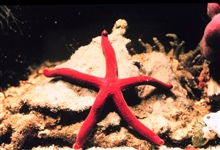 A bright red starfish.