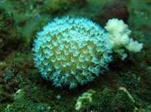 A toadstool leather octocoral - Sarcophyton sp.