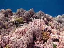 Scleractinian corals.