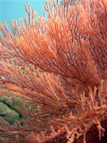 A red and yellow gorgonian coral.