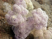 A soft whitish purple coral.